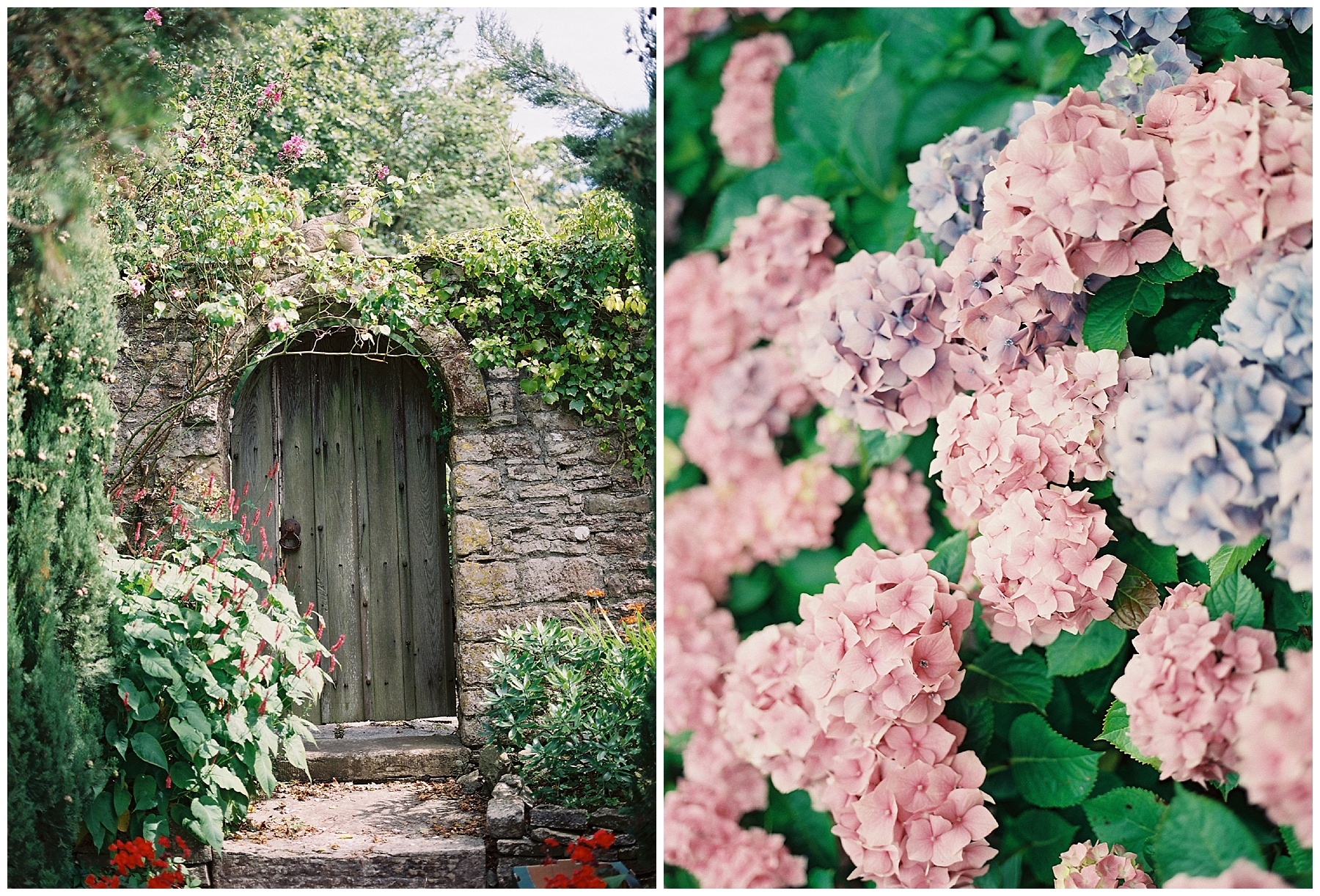 old wooden gate hydrangeas